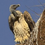 Indian Vulture-Gyps indicus by Nidhin Poothully