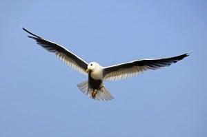 Bird in flight by Bengt Nyman