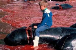 Faroe Islands Pilot Whale Killings (c) EIA