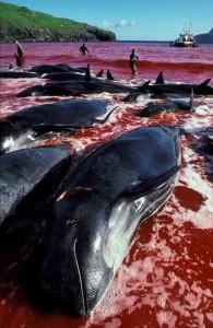 Faroe Islands Whale Hunt (c) EIA