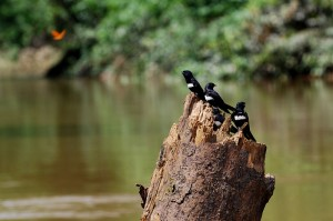 White-banded Swallows perching of a tree stump on the bank of Rio Tiputini, Yasuni National Park, Ecuador
