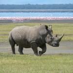 White Rhino by Ryan Harvey