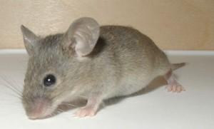 Mouse - Roger McLassus