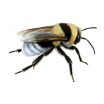 Bee (FoE)