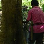 Illegal logger felling tree for Sitorus (c) EIA copy