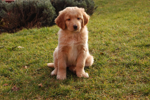 7 weeks old hovawart puppy by Bodlina