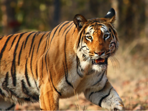 Tiger by Vijaymp via Wikimedia Commons