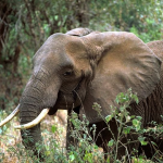 African Elephant (PD)