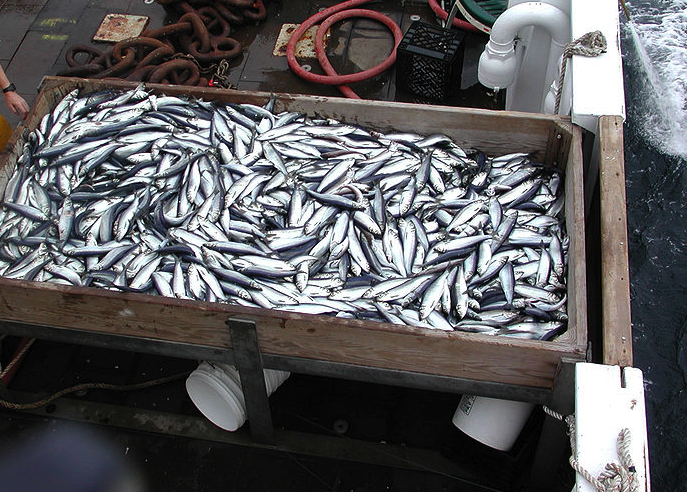 Herring Catch (PD)