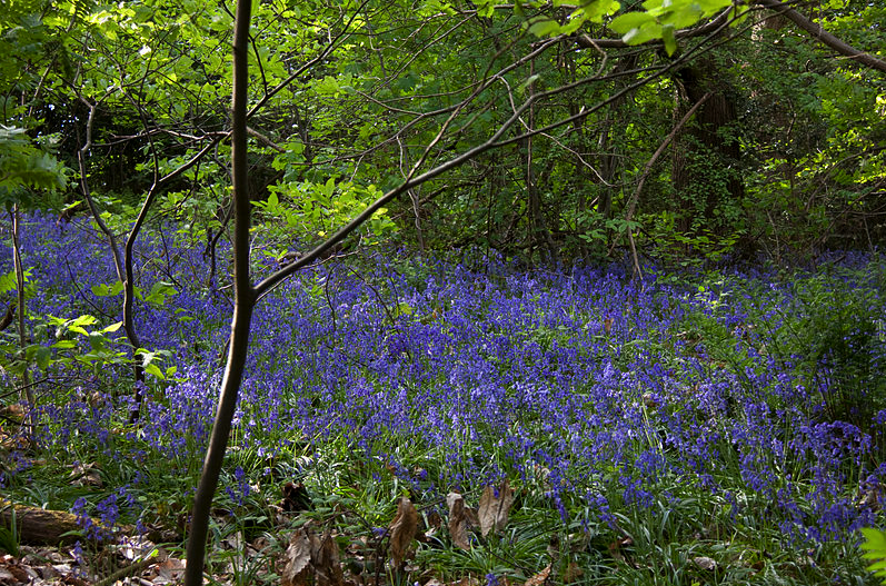 Bluebell Wood by Tony Hisgett via Wikimedia Commons