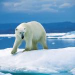 Polar bear on Ice Floe by Ansgar Walk