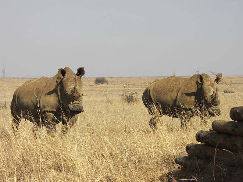 Rhinos in Rietvlei - (WT-shared) NJR ZA at wts wikivoyage