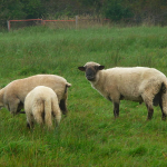 Sheep by 4028mdk09 via Wikimedia Commons
