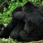 Mountain Gorillas by Carine from UK