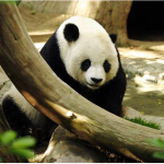 Panda by Aaron Logan