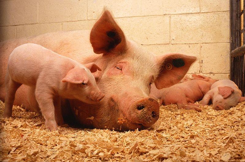 Pigs (PD)