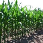 maize by Fritz Geller-Grimm