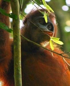 Wild orangutan by niel (www.neilsrtw.blogspot.co.uk)