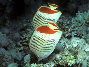 Eritrean butterflyfish Sharm el Sheik by Bernard E. Picton
