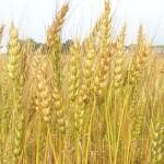 Wheat (PD)