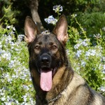 German Shepherd (PD)