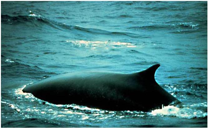 Fin Whale (PD)