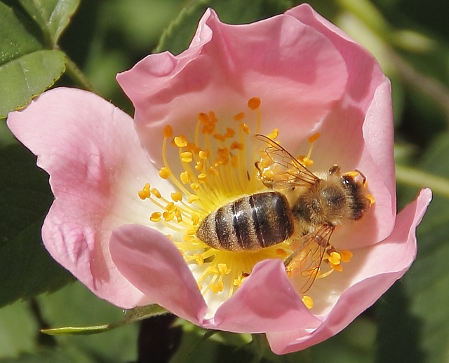 Bee (PD)
