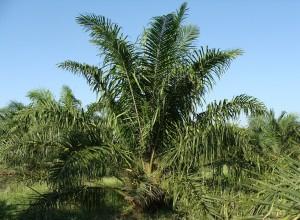Oil Palm (PD)
