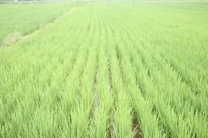 Rice field (PD)