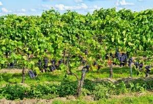 Grapes (PD)