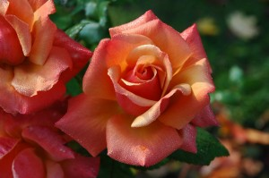 Roses (PD)