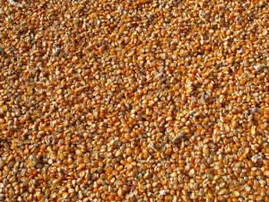 Maize (PD)