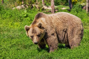 Brown Bear (PD)