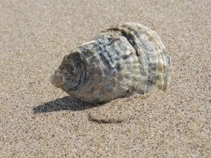 Beach Seashell (PD)