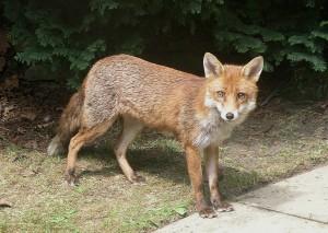 Fox (PD)