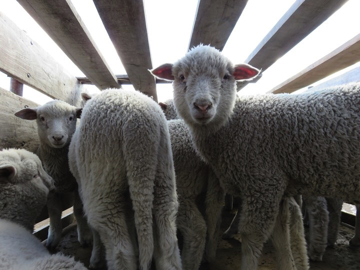 Lambs were slaughtered and butchered in full view of other live lambs