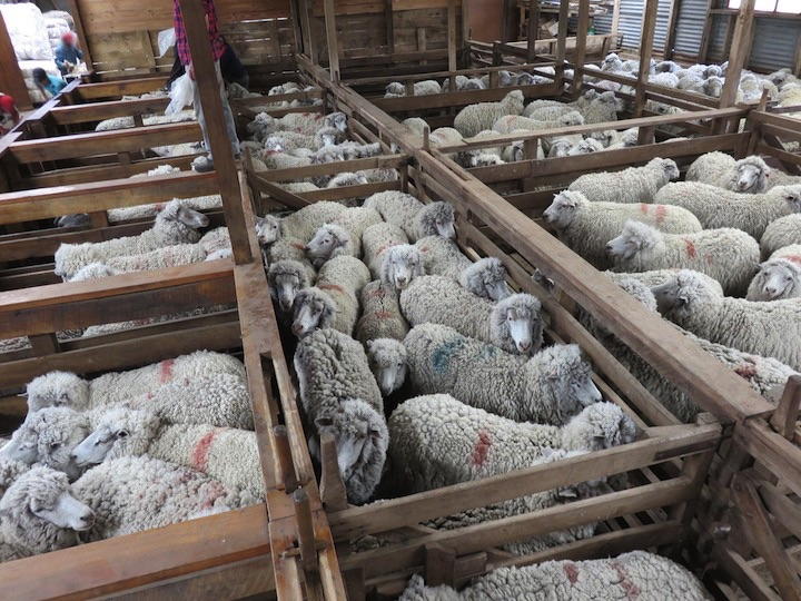 Sheep were kept in severely crowded pens before shearing