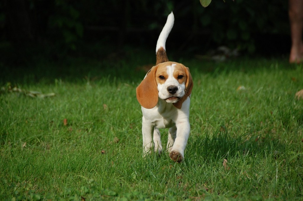 Beagle pup (PD)