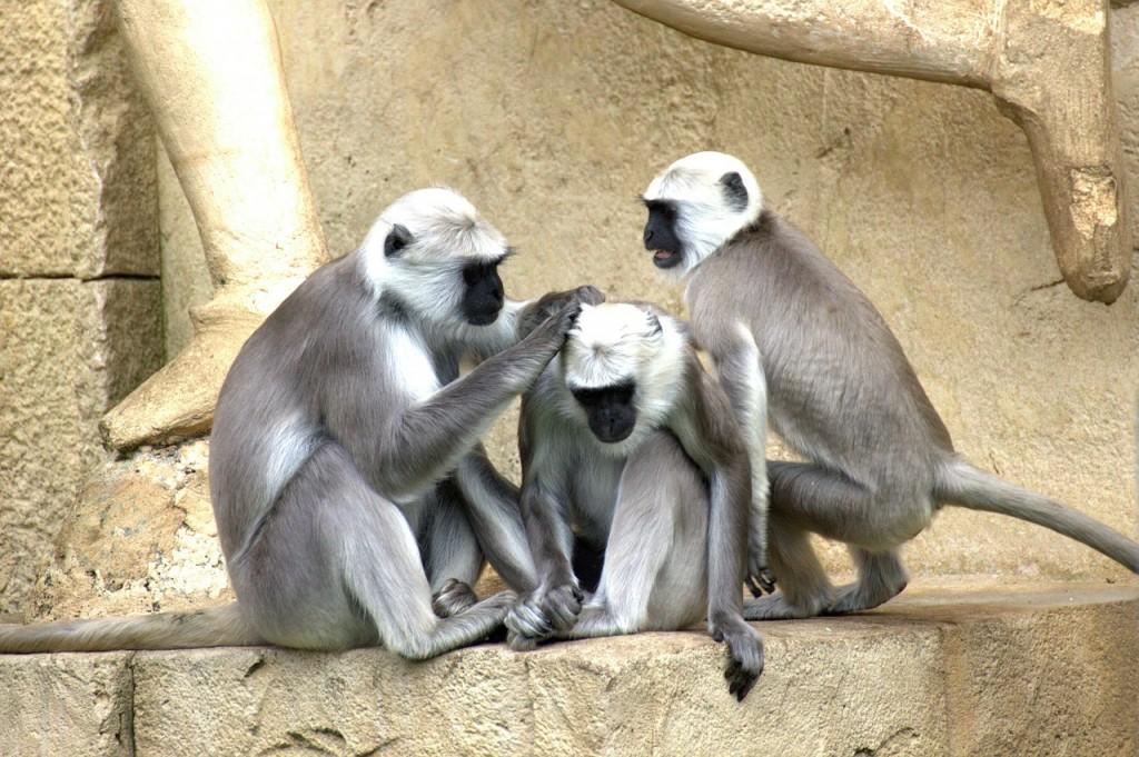 Green Monkeys (PD)