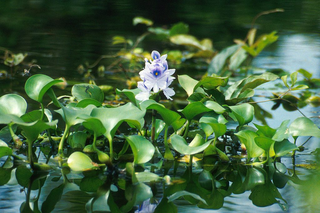 Water Hyacinth (PD)