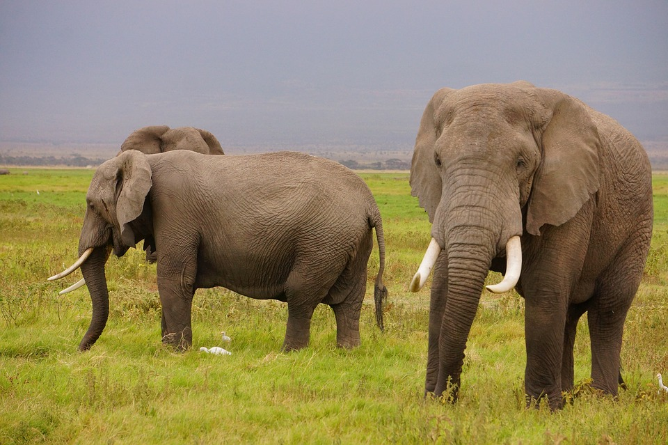 Wild Elephants (PD)