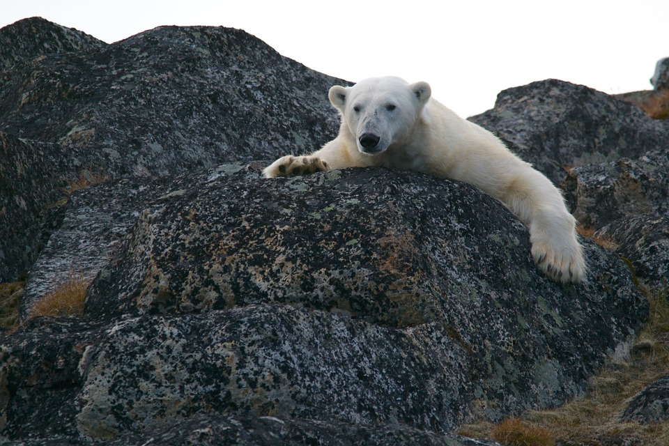 Polar Bear on Rock (PD)