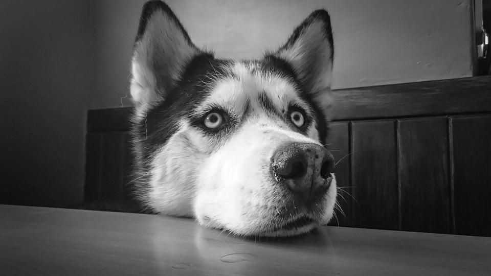 Siberian Husky 1 (PD)