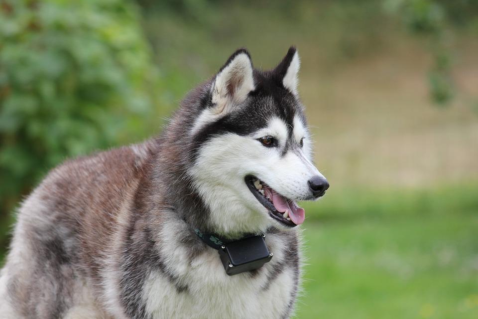 Siberian Husky 2 (PD)