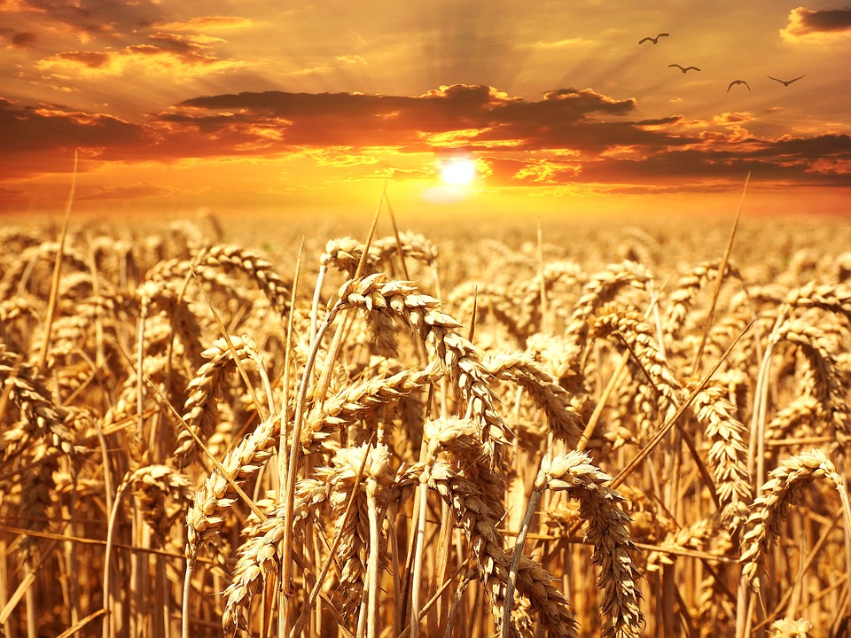 Wheat Field (PD)