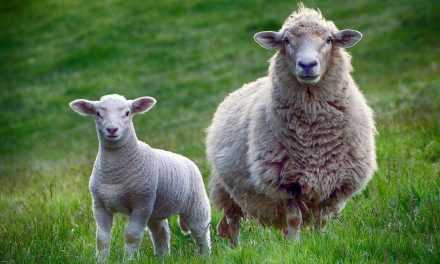 Why will no-deal Brexit mean millions of sheep have to be slaughtered?!